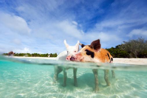 Swimming pigs of Exuma 477144973