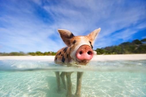 Swimming pigs of Exumas 467436773