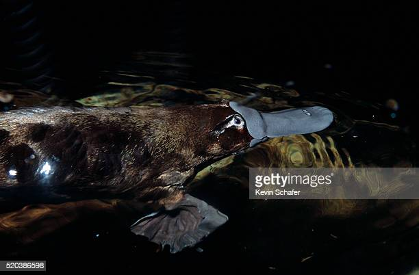 swimming platypus - duck billed platypus stock pictures, royalty-free photos & images