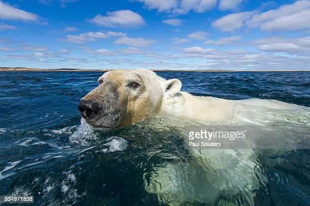 Swimming Polar Bear, Hudson Bay, Nunavut, Canada
