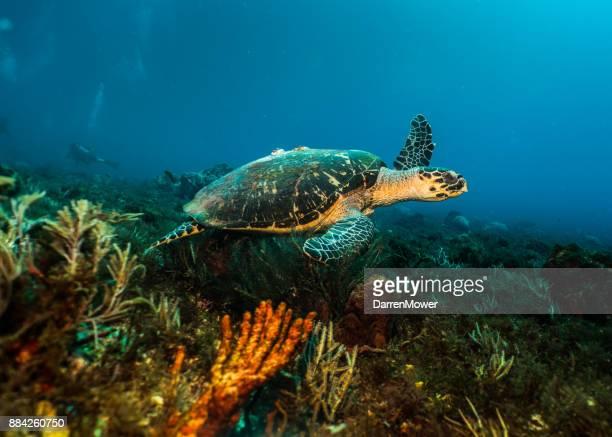 スイミング ウミガメ