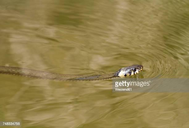 swimming slithering grass snake - ヨーロッパヤマカガシ ストックフォトと画像