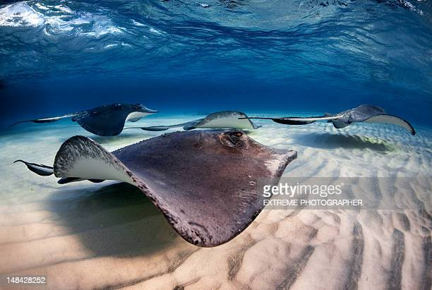 swimming stingrays - stingray stock photos and pictures