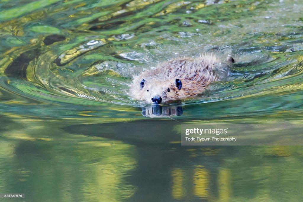 Swimming Toward You : ストックフォト