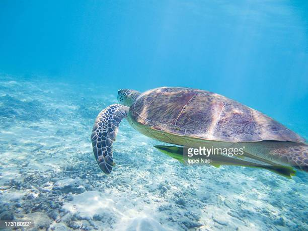 Swimming with a sea turtle in clear tropical water