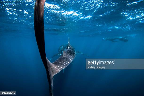 swimming with a whaleshark - whale shark stock pictures, royalty-free photos & images