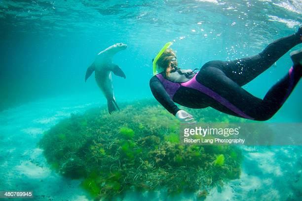 swimming with wild sealions, port lincoln - porto lincoln - fotografias e filmes do acervo