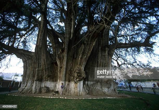 1989 Issue Scenic view of a man standing under a large Montezuma cypress tree named El Arbol del Tule in Oaxaca Santa Maria del Tule Mexico 12/3/1988...