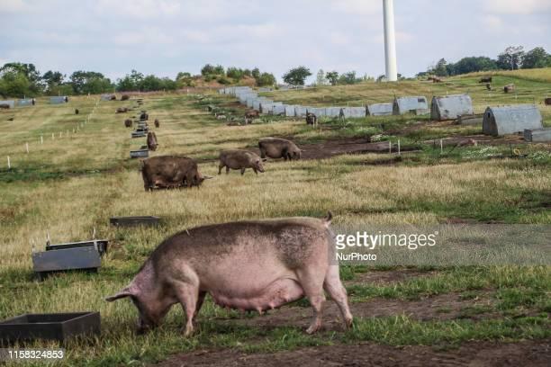Swine in the ecological outdoor swine farm are seen in Holstebro , Denmark on 28 July 2019