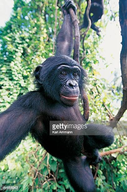 Swinging Chimpanzee (Pan troglodytes)