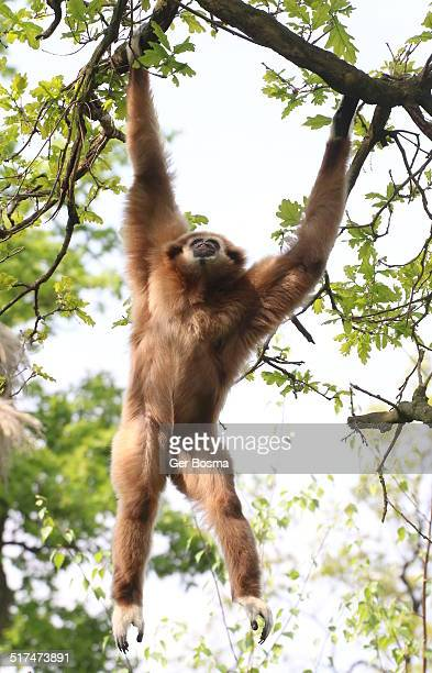 Swinging White-Handed Gibbon
