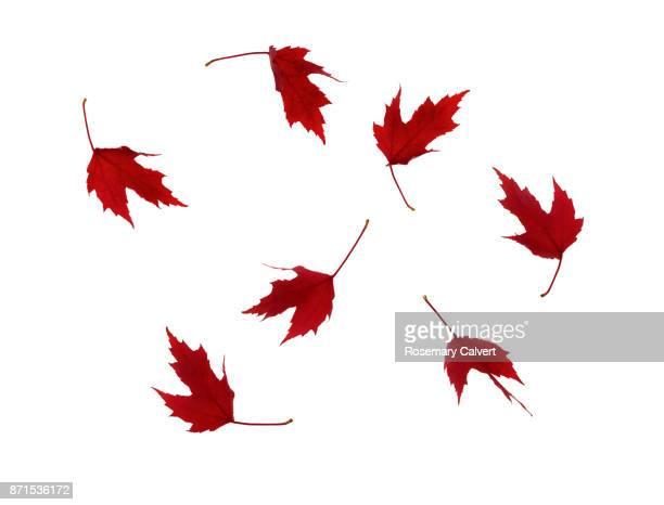 swirl of red autumnal maple leaves on white. - esdoornblad stockfoto's en -beelden