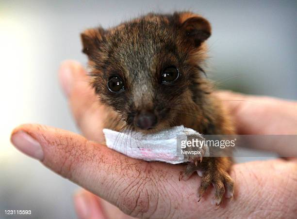 'Swiss' an orphaned ringtail possum is seen with a splint on her broken leg recovering at Taronga Zoo on August 25 2011 in Sydney Australia Swiss and...