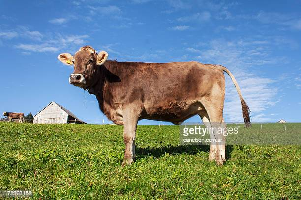 Swiss brown cow from Amden, Switzerland