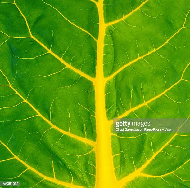 Swiss chard leaf, detail