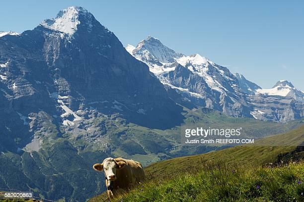 Swiss cow and the Eiger