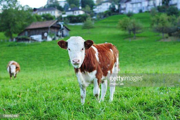 Swiss Cow Eating Grass - XLarge