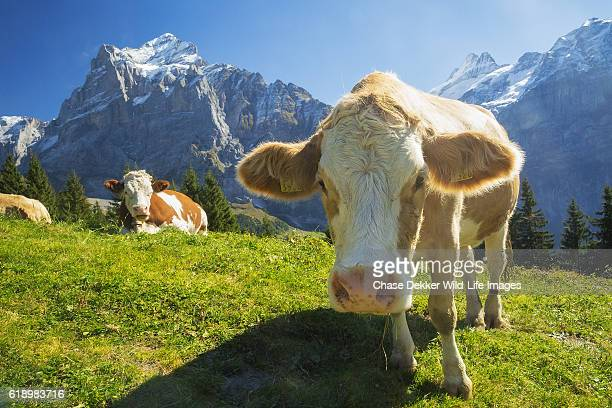 swiss cow - switzerland stock pictures, royalty-free photos & images