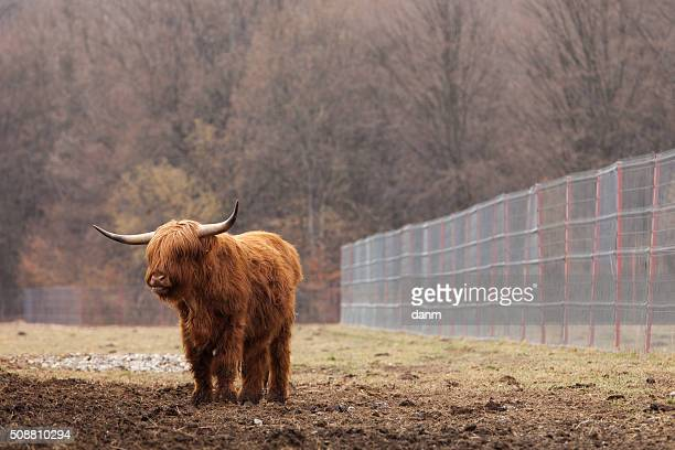 swiss cow with a strong head - cow mooing stock pictures, royalty-free photos & images