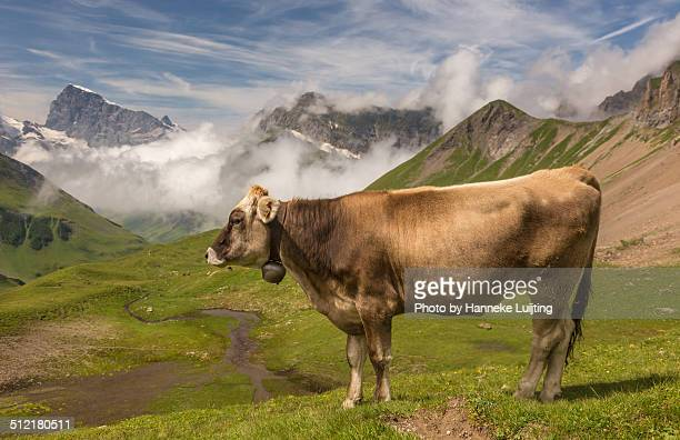 Swiss Cow with bell in front of Mount Titlis