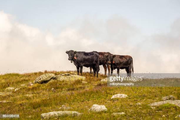 Swiss cows grazing