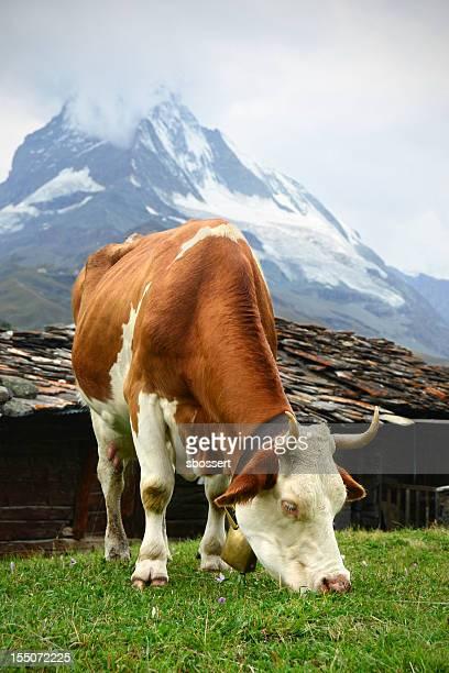 Swiss Dairy Cow and Matterhorn