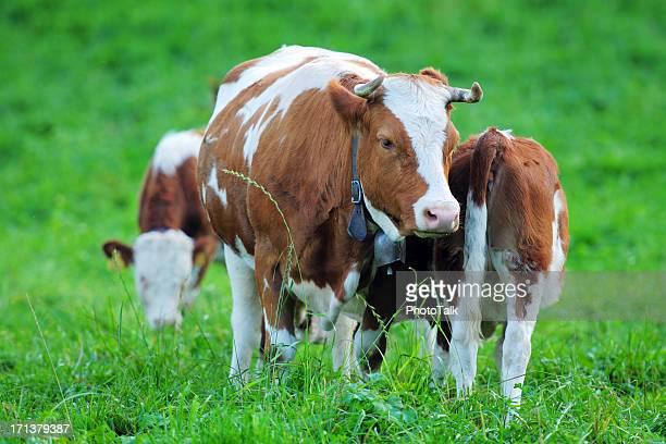 Schweizer Farm und Milch Kuh-XL