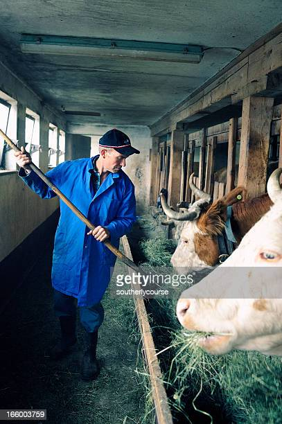 Swiss Farmer Feeding Cows in Traditional Cowshed