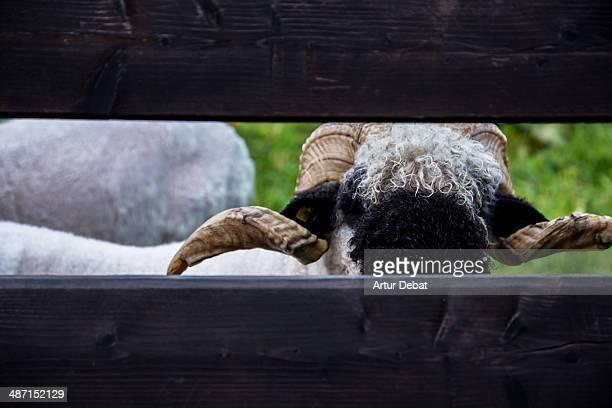 Swiss goat behind the wood fence in Zermatt.
