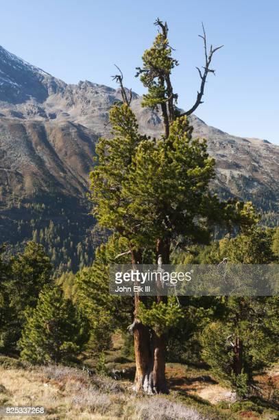 Swiss pine tree in Alps landscape