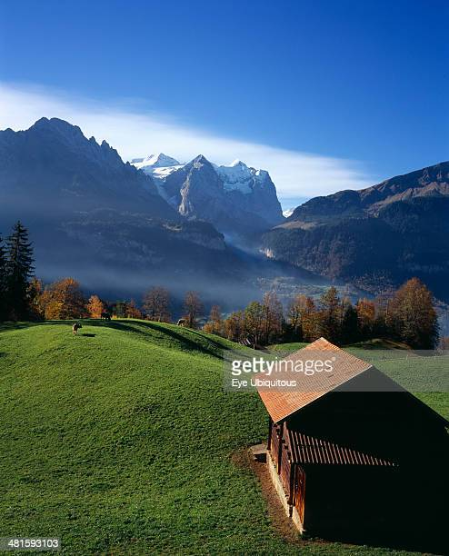 Switzerland Bernese Oberland Bern Hasliberg farmland north of Meringen Farm building and cattle grazing on lush green grass with snow capped...