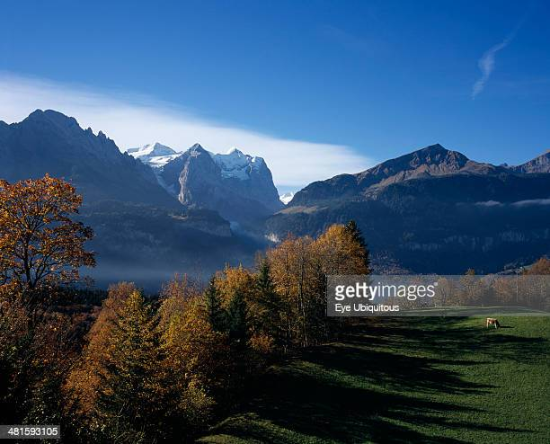 Switzerland Bernese Oberland Bern Hasliberg farmland north of Meringen Trees in autumn colors with cattle grazing on lush green grass with snow...