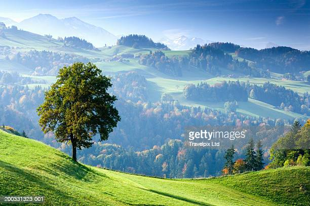 switzerland, bernese oberland, tree on hillside near thun - hill stock pictures, royalty-free photos & images
