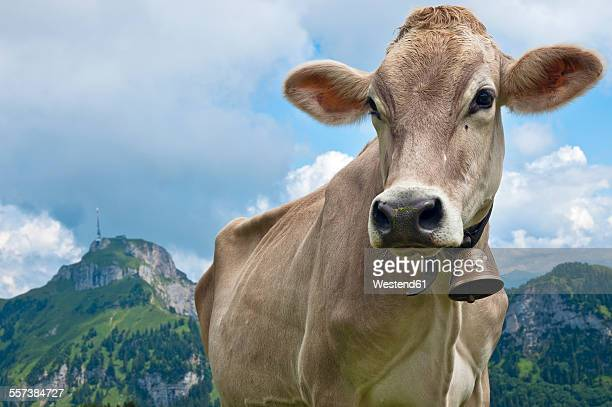 Switzerland, Canton of Appenzell Innerrhoden, Cow with bell, Hoher Kasten in the background