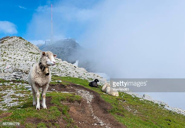 Switzerland, Canton of Appenzell Innerrhoden, Mountain Saentis, sheep at Lysengrat hiking trail
