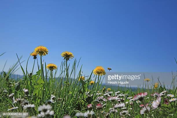 Switzerland, Canton Solothurn, Hochwald, Dandelions (Taraxacum officinale) and daisies (Bellis perennis) in field