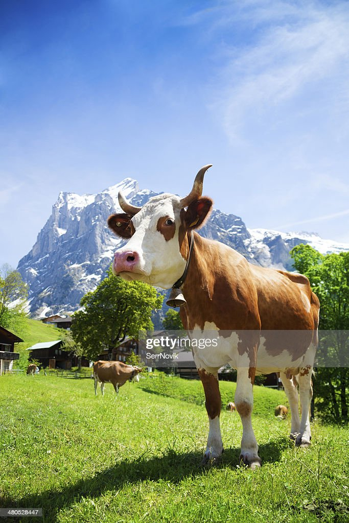Switzerland cow : Stock Photo