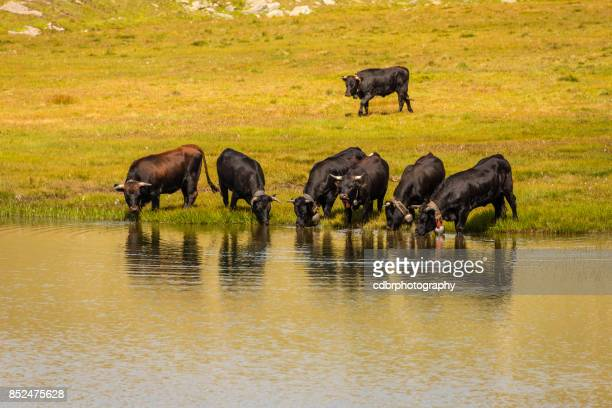 Switzerland - cows drinking from a mountain lake