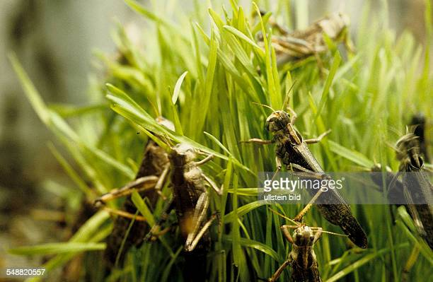 Ciba Geigy Company Research African migratory locusts on wheat