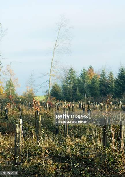 Switzerland, forest of pines undergoing reforestation