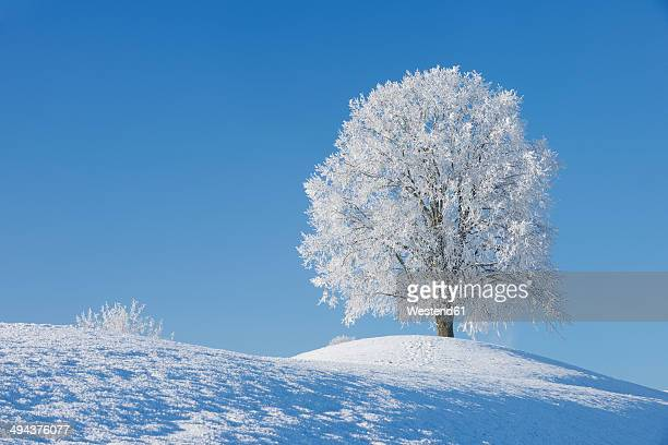 Switzerland, frost-covered lime tree on a hill in front of blue sky