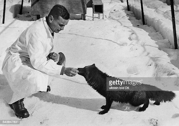 Switzerland Graubuenden Egadin a man feeding a tame silver fox in his enclosure Photographer Gerhard Riebicke Published by 'Der Querschnitt'...