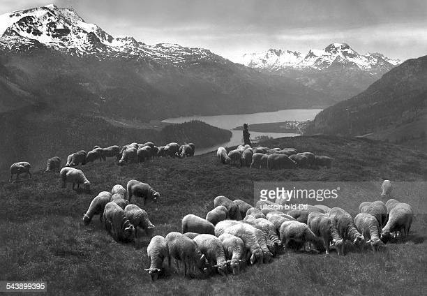 Switzerland Graubuenden Upper Engadin flock of sheep on a pasture with a lake in the background 1928 Photographer Steiner Published by 'Zeitbilder'...