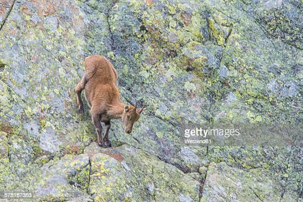 Switzerland, Lac de Cheserys, Alpine Ibex at rock face