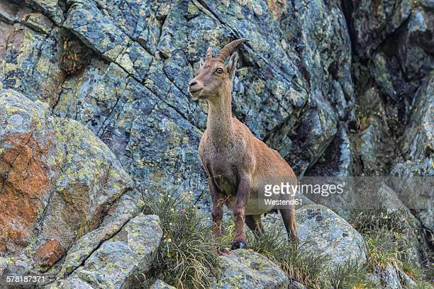 Switzerland, Lac de Cheserys, Alpine Ibex on a rock