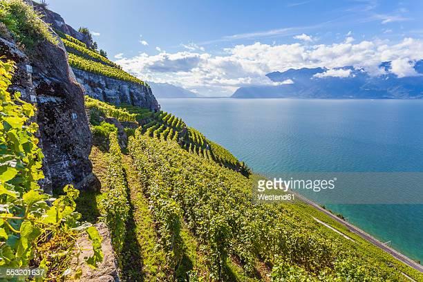 switzerland, lavaux, lake geneva, vineyard at lakeshore - ヴォー州 ストックフォトと画像