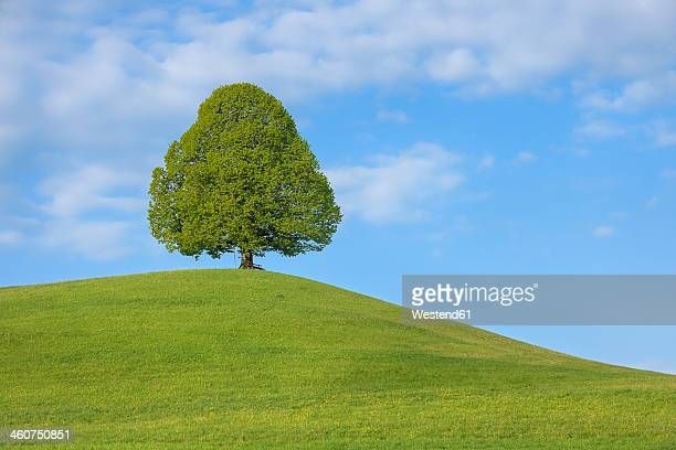 Switzerland, Lime tree in meadow
