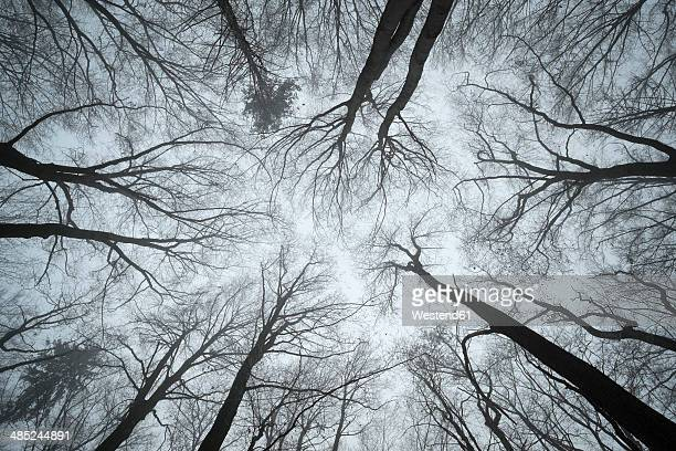 Switzerland, Thurgau, Beech forest in fog