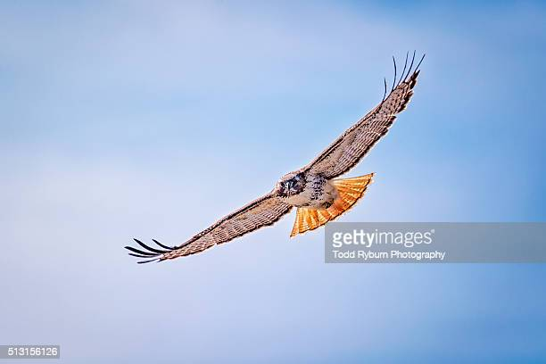 swooping in - red tailed hawk stock photos and pictures