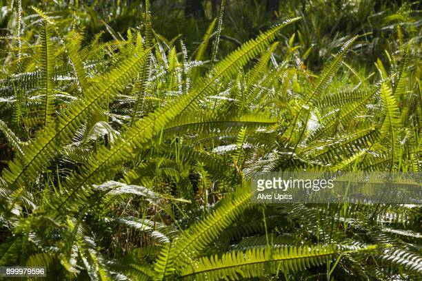 Sword Fern in South Kona Nature Preserve.